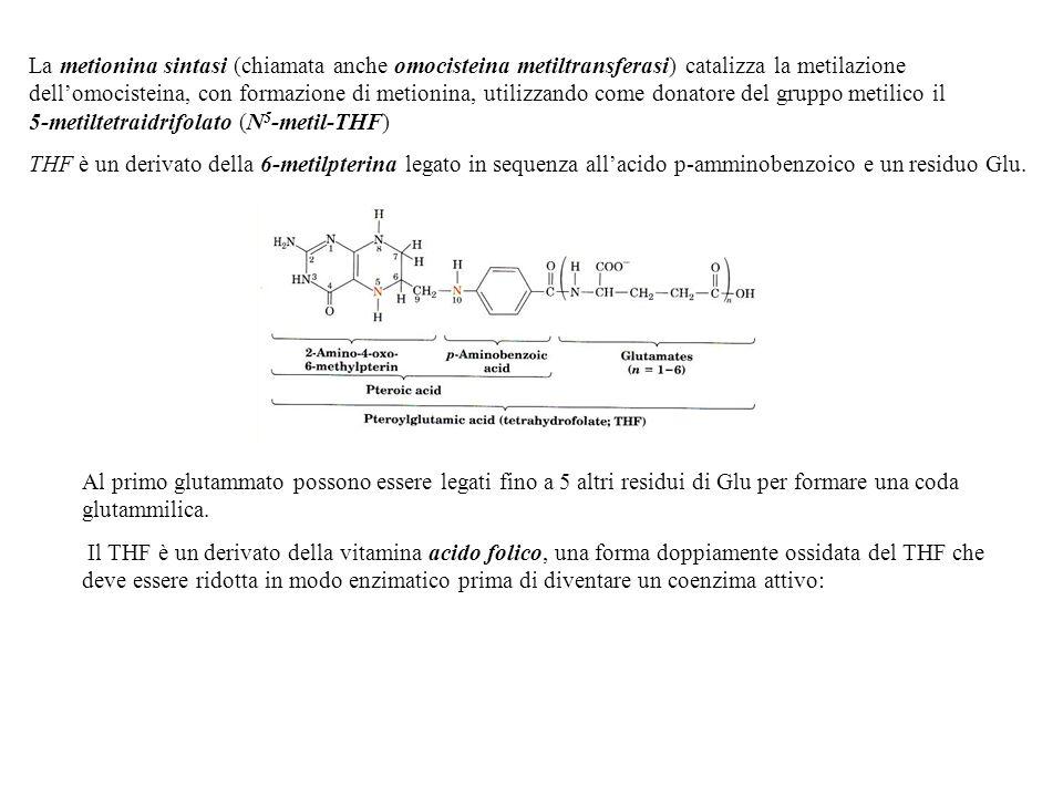 La metionina sintasi (chiamata anche omocisteina metiltransferasi) catalizza la metilazione dell'omocisteina, con formazione di metionina, utilizzando come donatore del gruppo metilico il 5-metiltetraidrifolato (N5-metil-THF)
