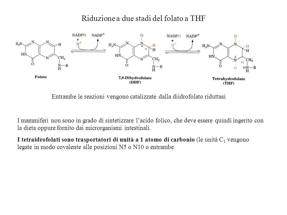 Riduzione a due stadi del folato a THF