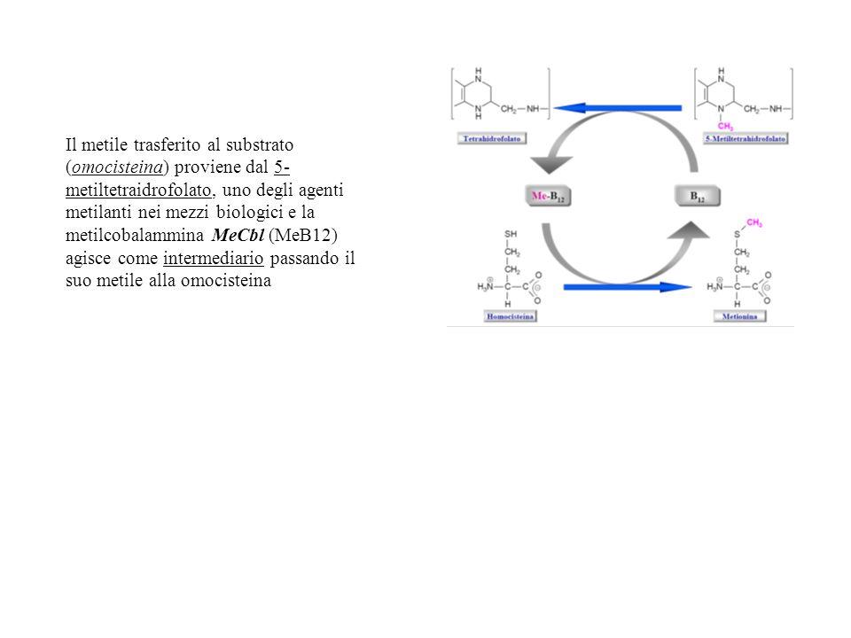 Il metile trasferito al substrato (omocisteina) proviene dal 5-metiltetraidrofolato, uno degli agenti metilanti nei mezzi biologici e la metilcobalammina MeCbl (MeB12) agisce come intermediario passando il suo metile alla omocisteina