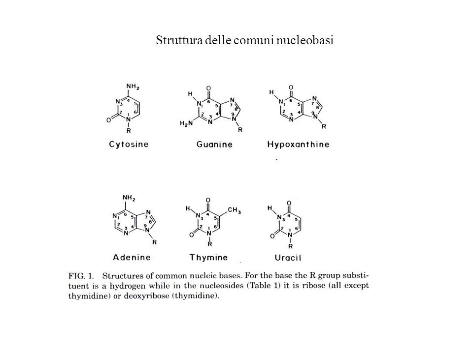 Struttura delle comuni nucleobasi