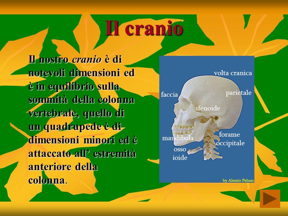 Il cranio