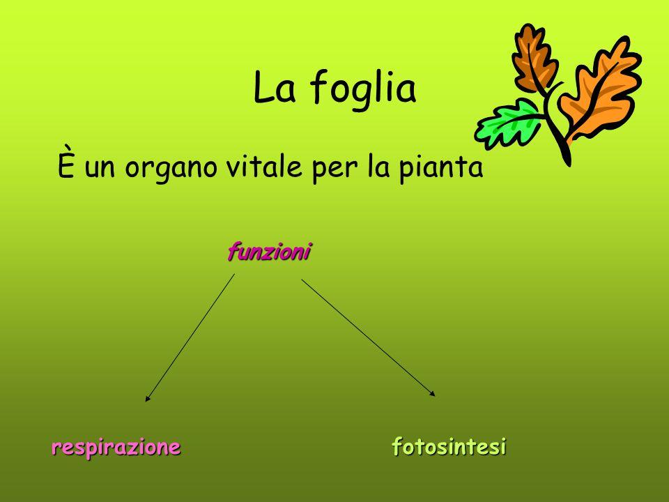 La foglia È un organo vitale per la pianta funzioni respirazione