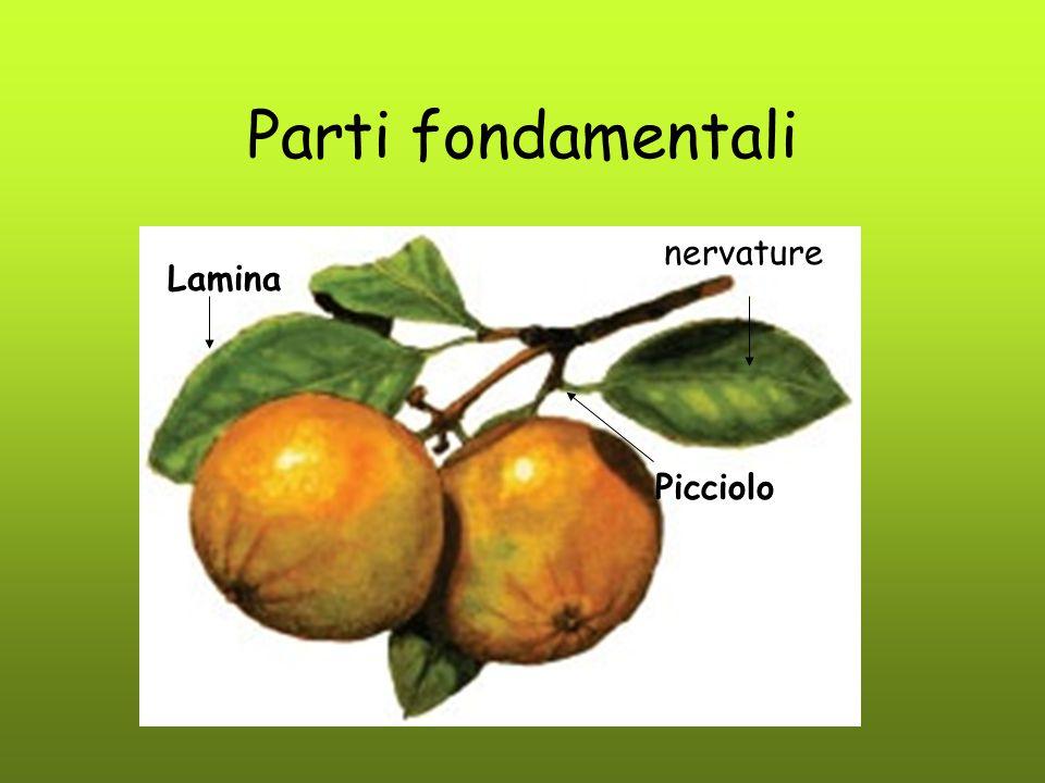 Parti fondamentali nervature Lamina Picciolo