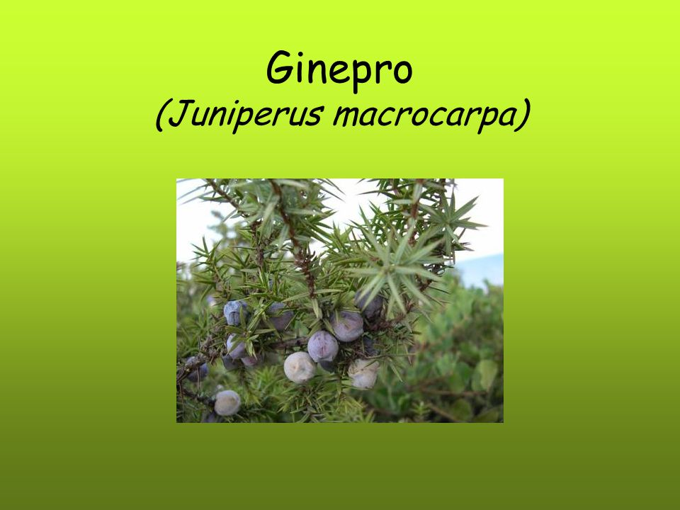 Ginepro (Juniperus macrocarpa)