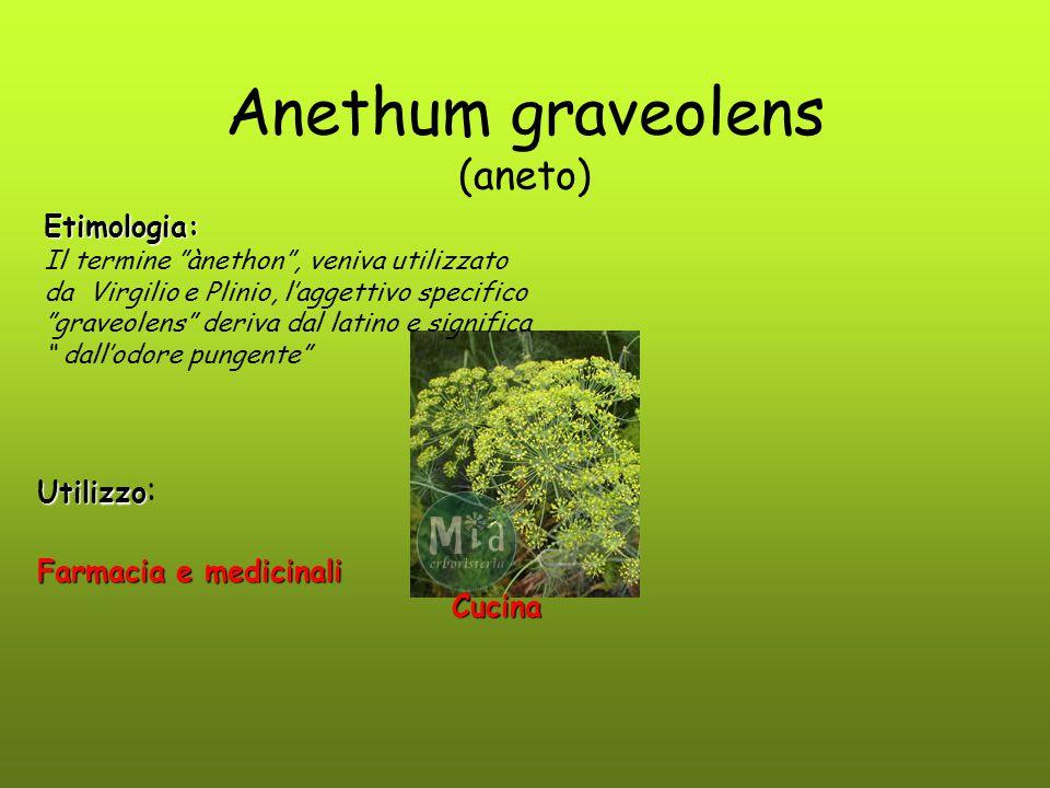 Anethum graveolens (aneto)