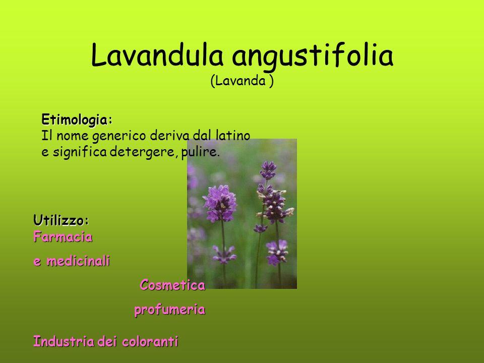 Lavandula angustifolia (Lavanda )