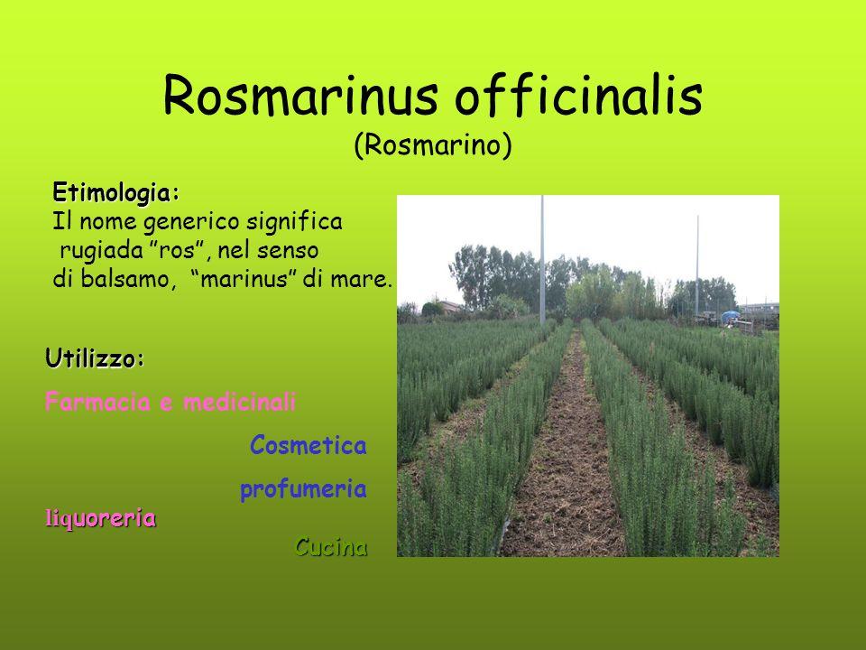 Rosmarinus officinalis (Rosmarino)