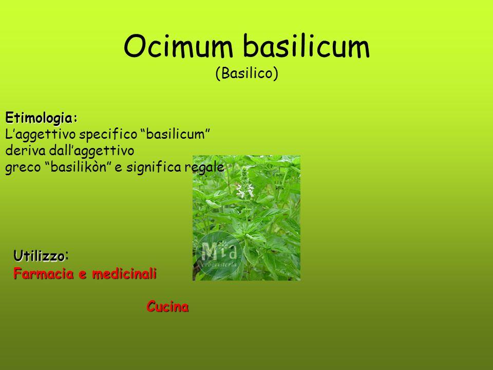 Ocimum basilicum (Basilico)