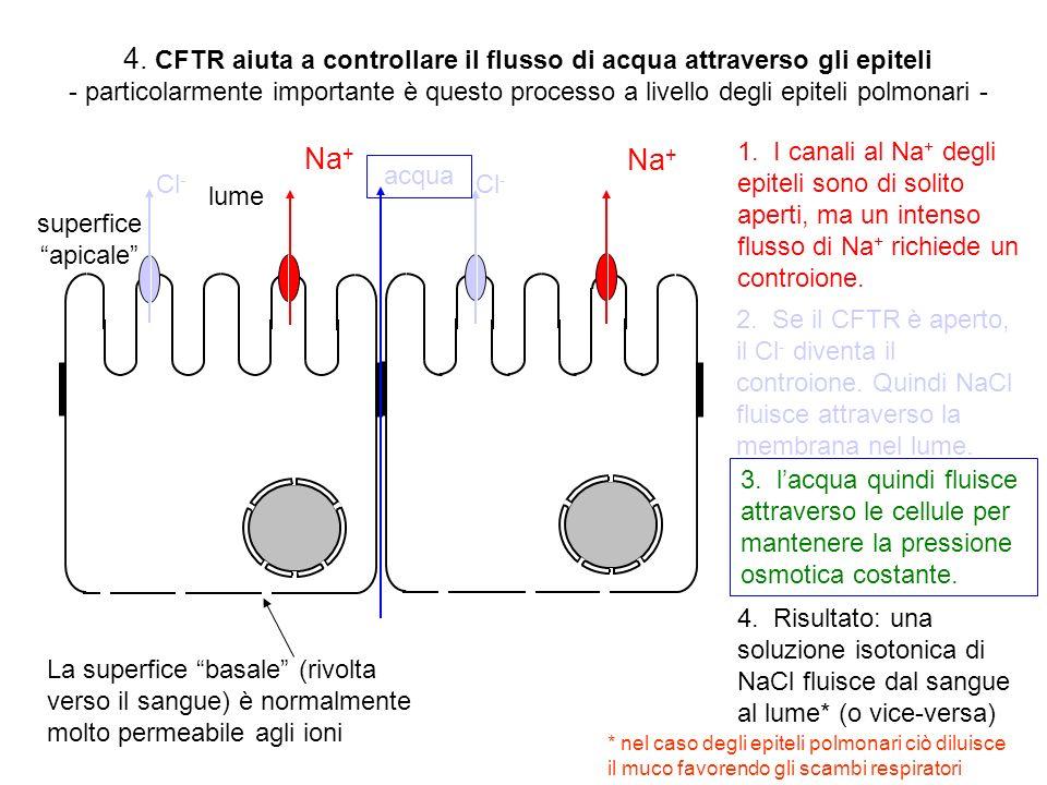 4. CFTR aiuta a controllare il flusso di acqua attraverso gli epiteli