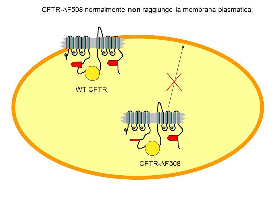 CFTR-DF508 normalmente non raggiunge la membrana plasmatica;