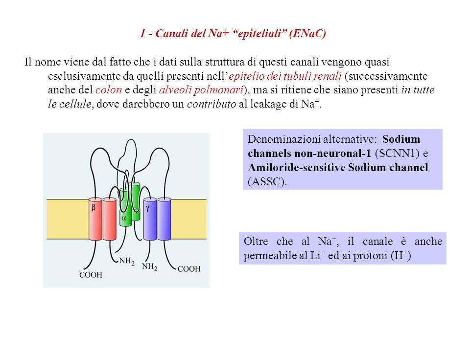 1 - Canali del Na+ epiteliali (ENaC)