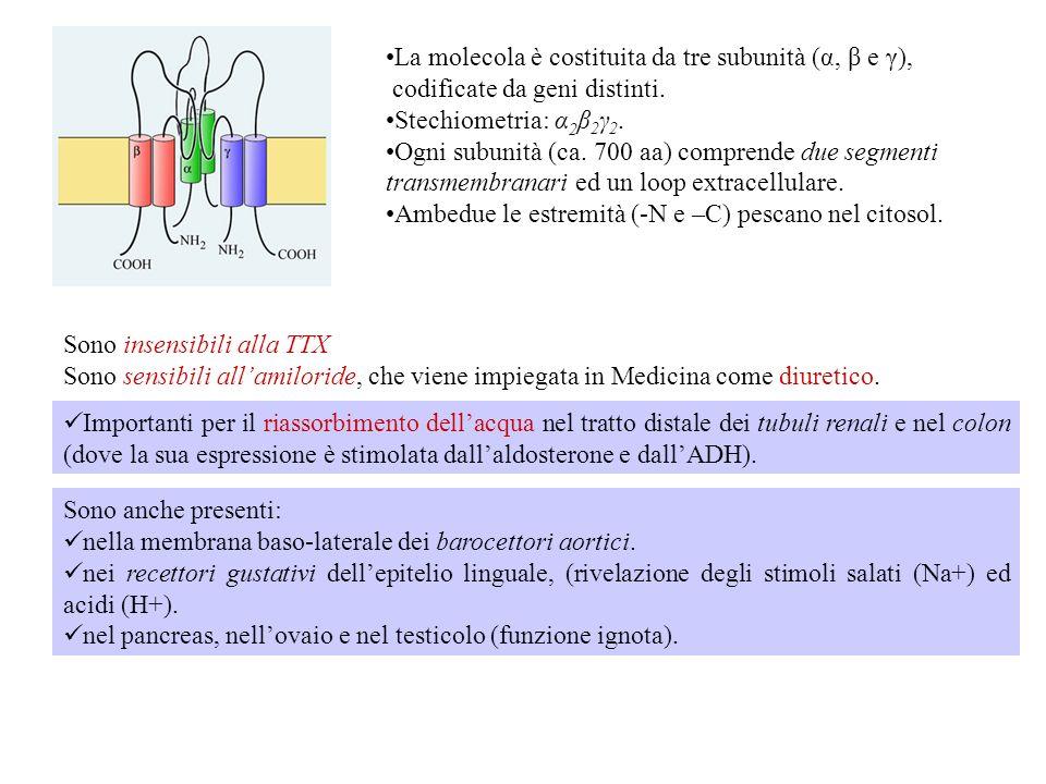 La molecola è costituita da tre subunità (α, β e γ),