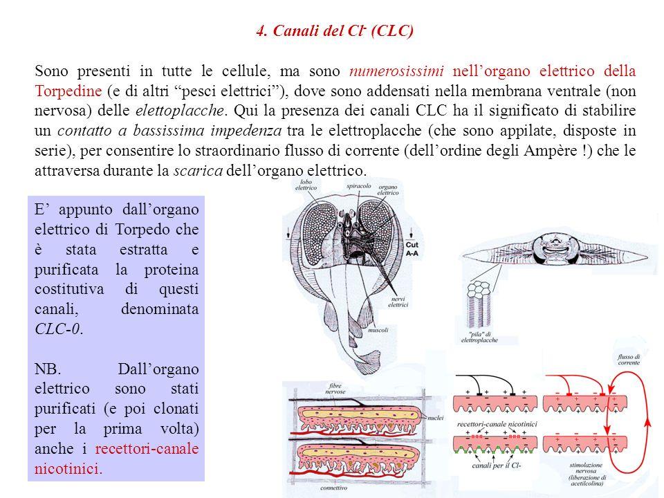 4. Canali del Cl- (CLC)