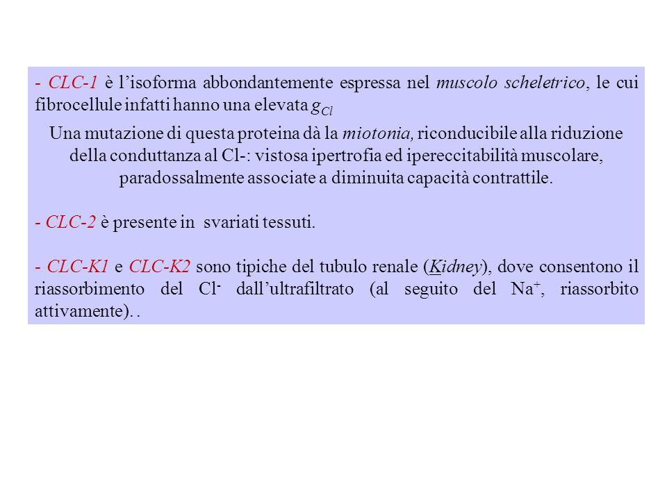 - CLC-1 è l'isoforma abbondantemente espressa nel muscolo scheletrico, le cui fibrocellule infatti hanno una elevata gCl