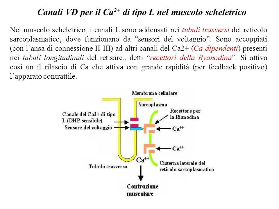 Canali VD per il Ca2+ di tipo L nel muscolo scheletrico