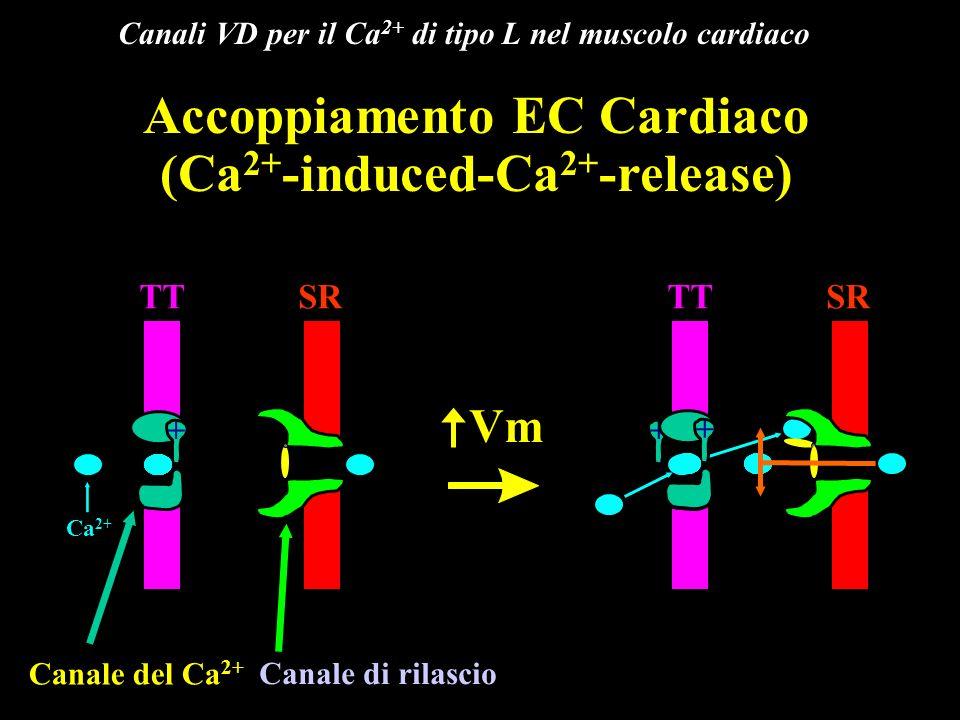 Canali VD per il Ca2+ di tipo L nel muscolo cardiaco