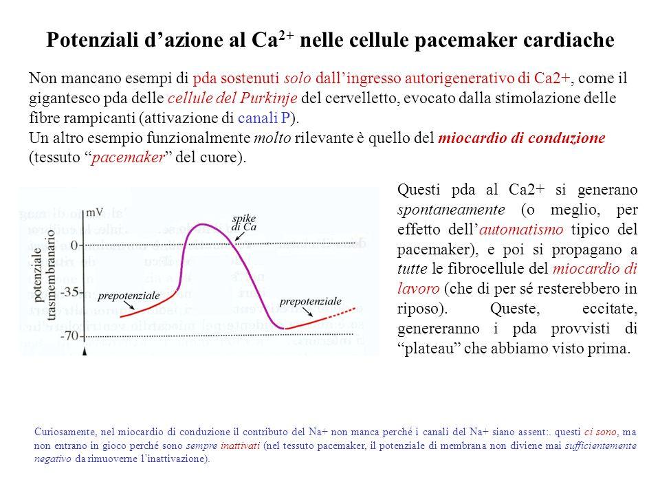 Potenziali d'azione al Ca2+ nelle cellule pacemaker cardiache