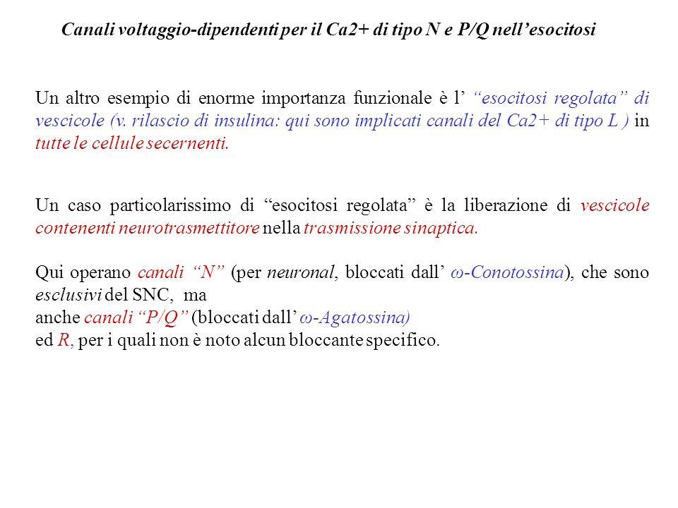 Canali voltaggio-dipendenti per il Ca2+ di tipo N e P/Q nell'esocitosi