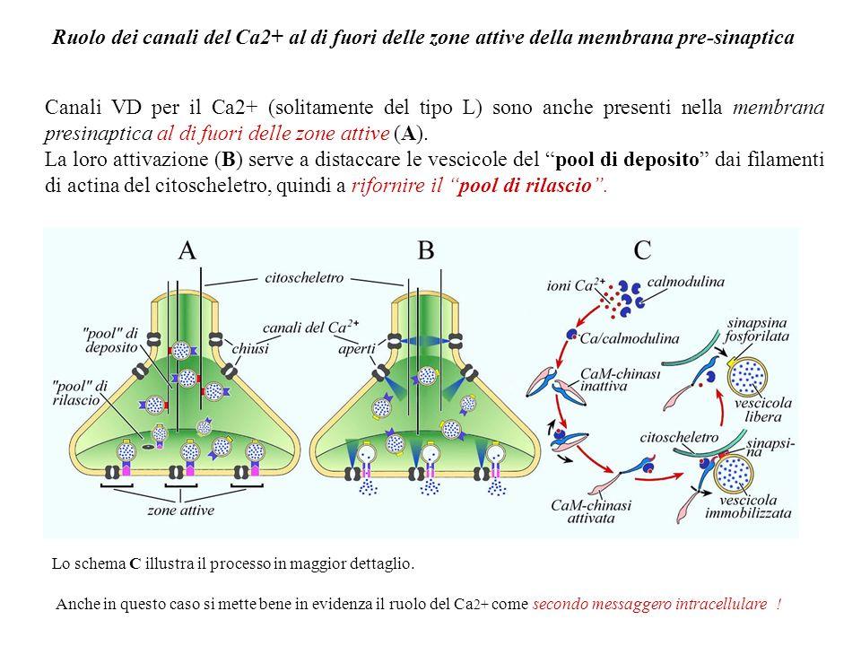 Ruolo dei canali del Ca2+ al di fuori delle zone attive della membrana pre-sinaptica