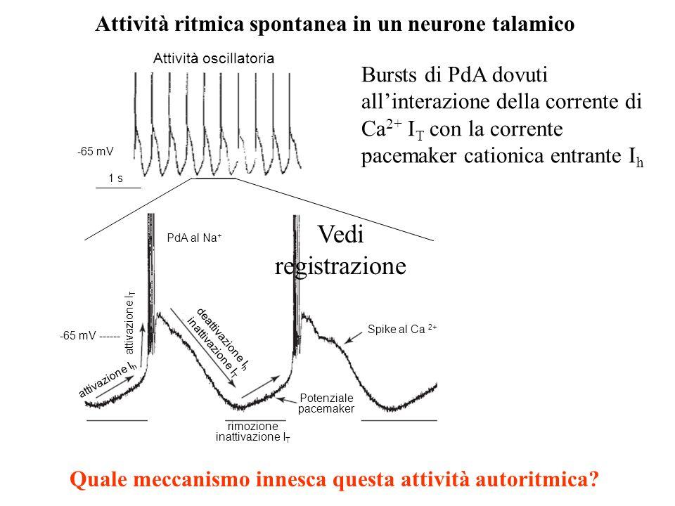 Vedi registrazione Attività ritmica spontanea in un neurone talamico