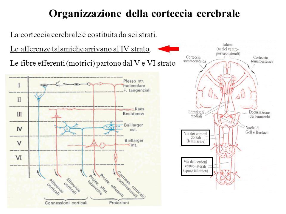 Organizzazione della corteccia cerebrale