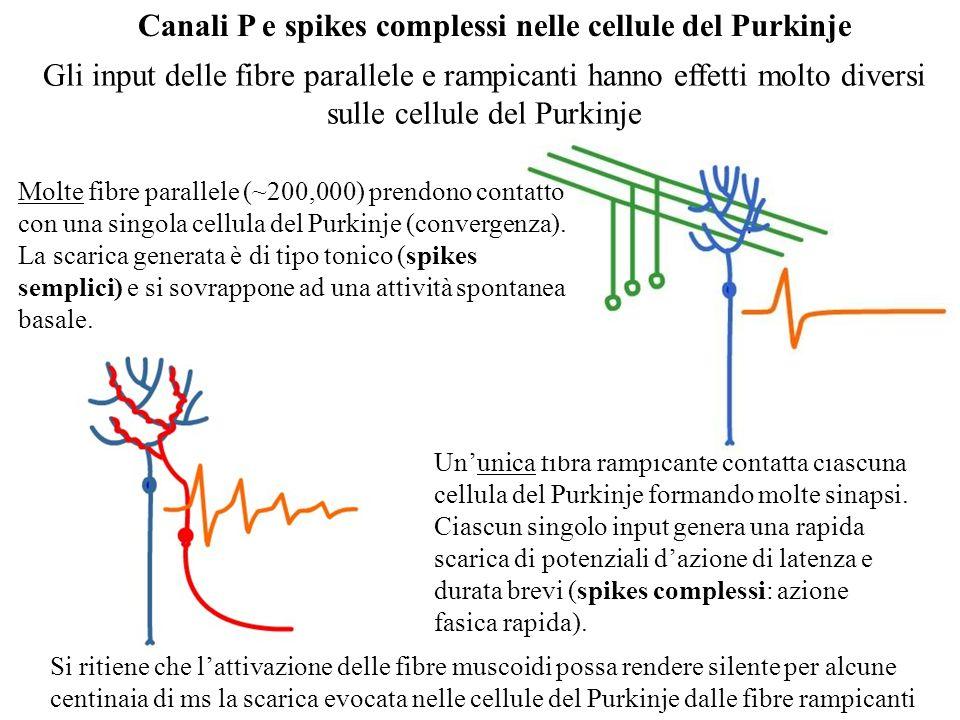 Canali P e spikes complessi nelle cellule del Purkinje