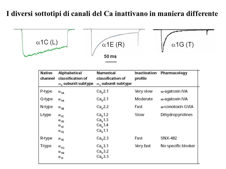 I diversi sottotipi di canali del Ca inattivano in maniera differente