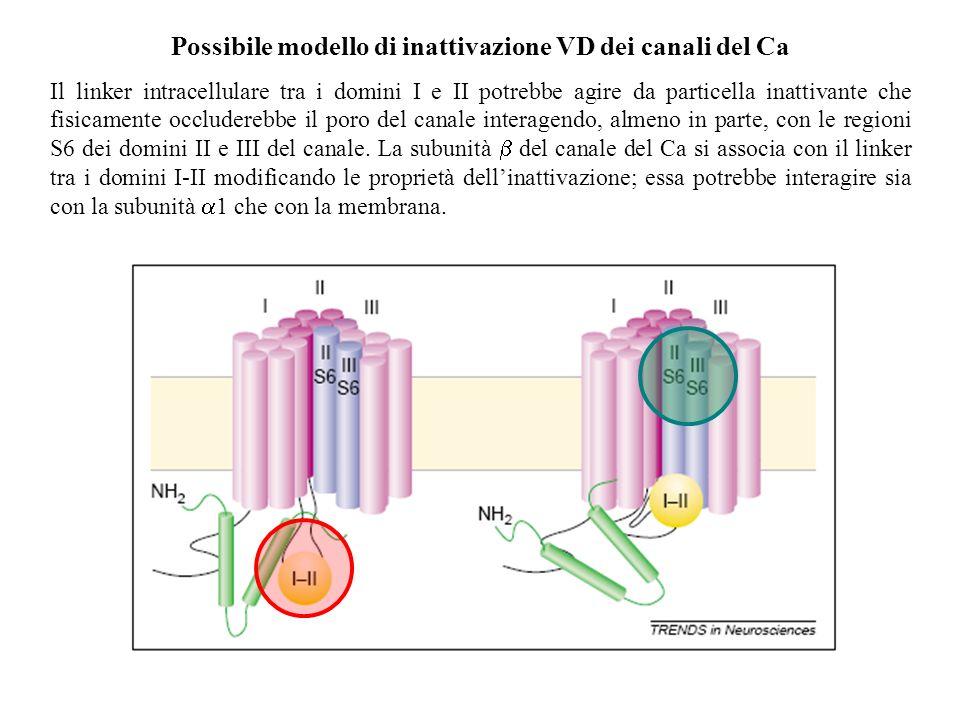 Possibile modello di inattivazione VD dei canali del Ca