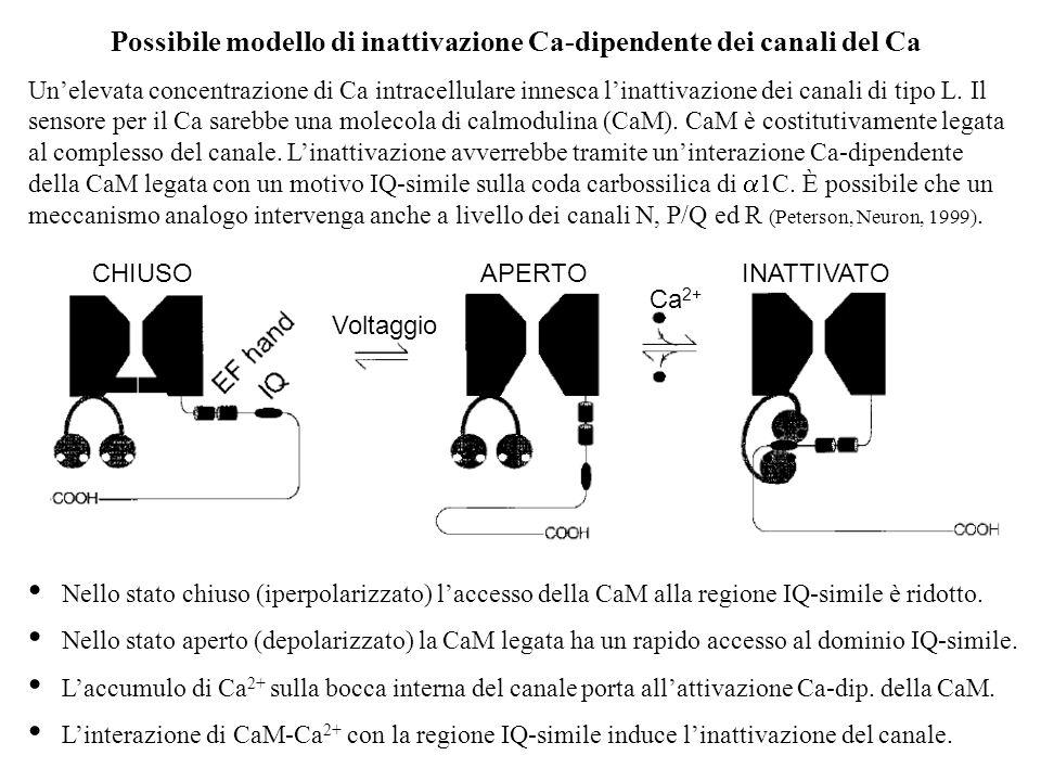 Possibile modello di inattivazione Ca-dipendente dei canali del Ca