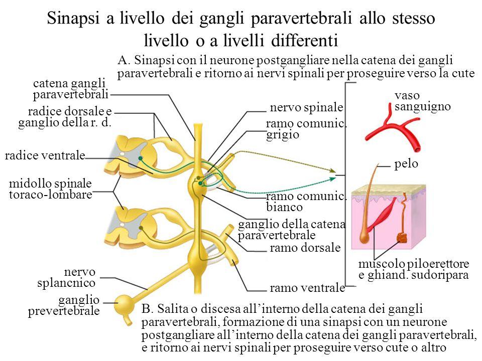 Sinapsi a livello dei gangli paravertebrali allo stesso livello o a livelli differenti
