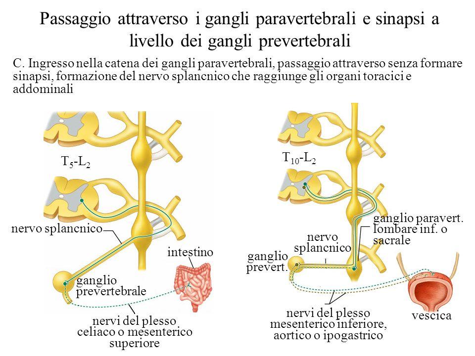 Passaggio attraverso i gangli paravertebrali e sinapsi a livello dei gangli prevertebrali