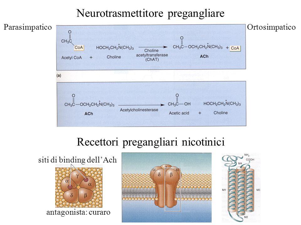 Neurotrasmettitore pregangliare