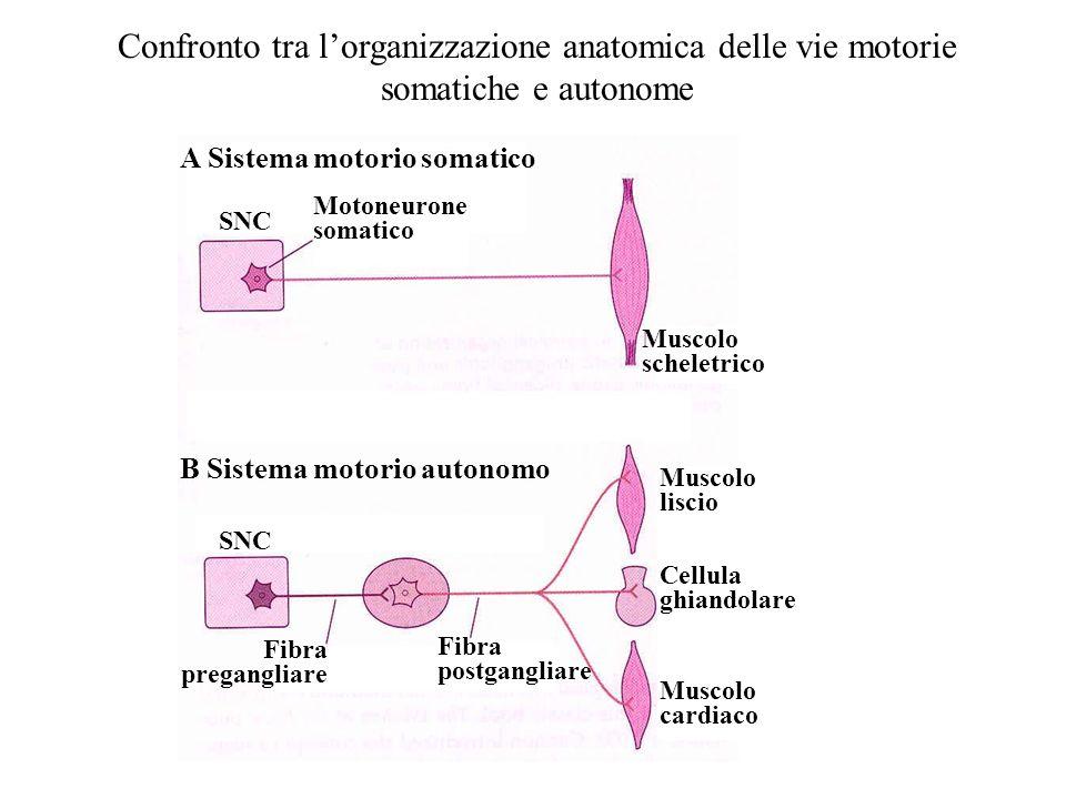 Confronto tra l'organizzazione anatomica delle vie motorie somatiche e autonome