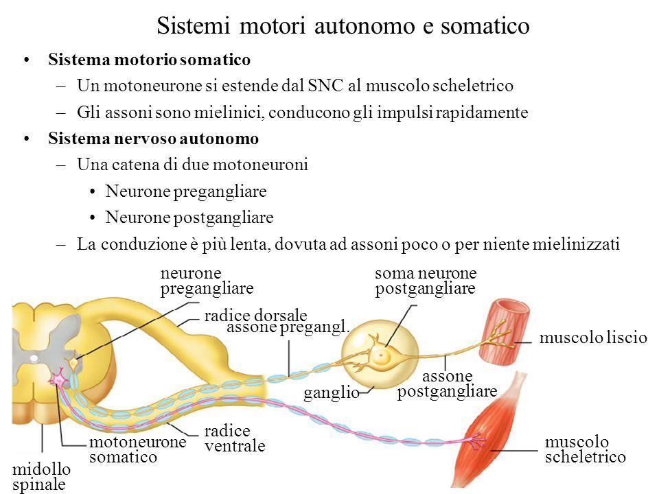 Sistemi motori autonomo e somatico