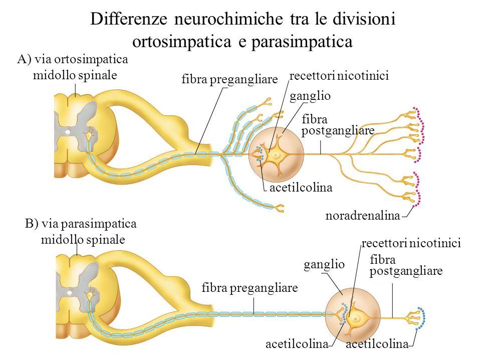 Differenze neurochimiche tra le divisioni ortosimpatica e parasimpatica