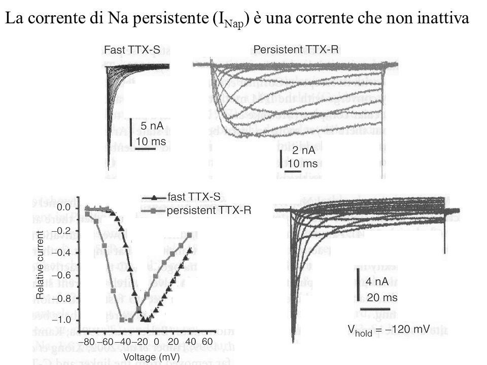 La corrente di Na persistente (INap) è una corrente che non inattiva