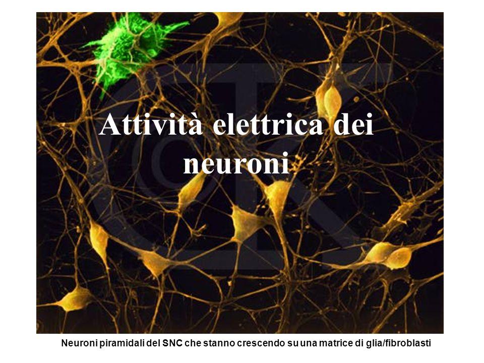 Attività elettrica dei neuroni
