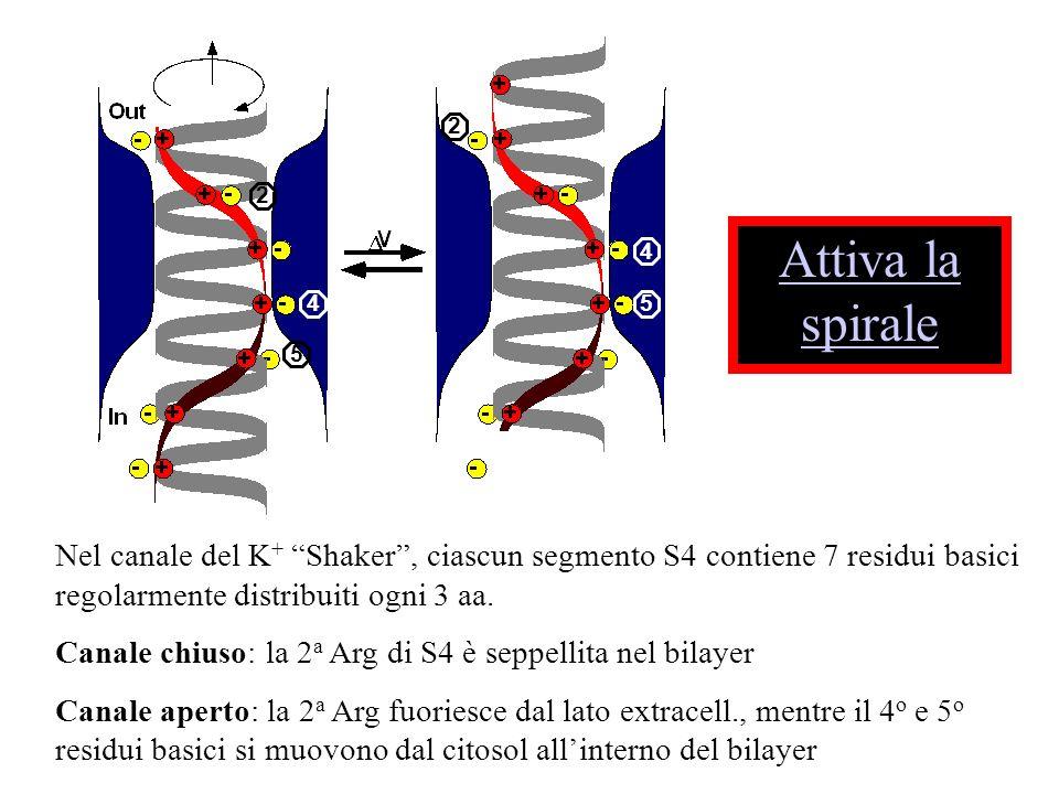 22. Attiva la spirale. 4. 4. 5. 5. Nel canale del K+ Shaker , ciascun segmento S4 contiene 7 residui basici regolarmente distribuiti ogni 3 aa.