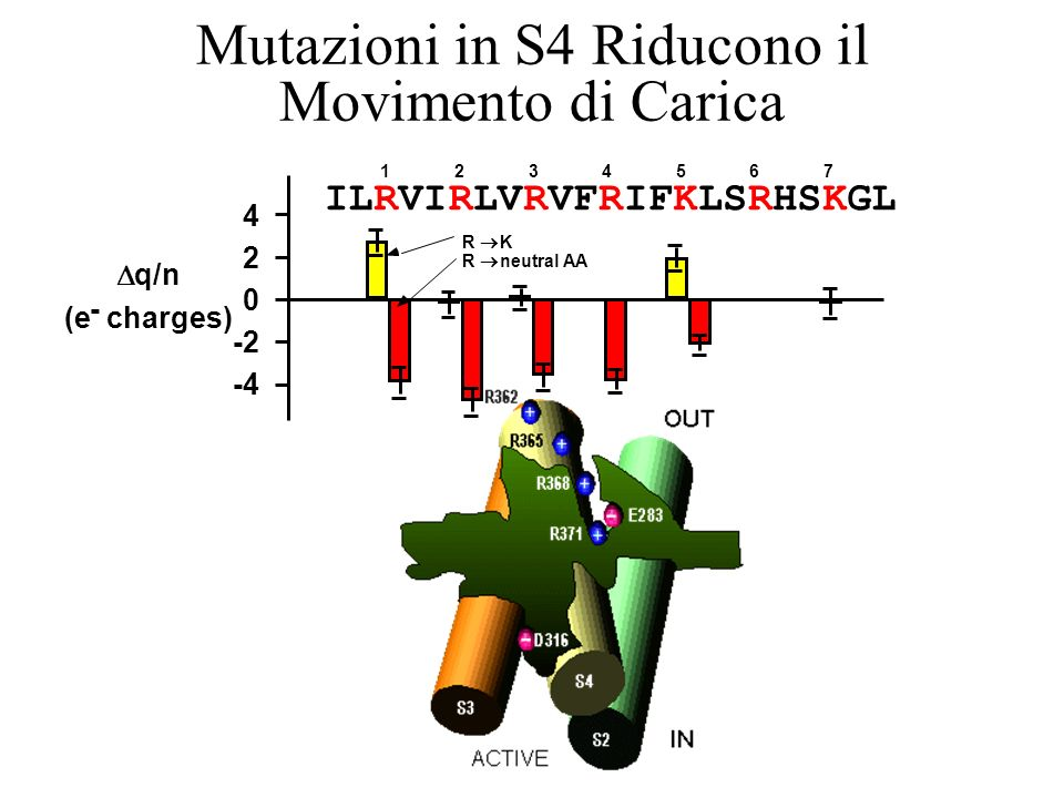 Mutazioni in S4 Riducono il Movimento di Carica