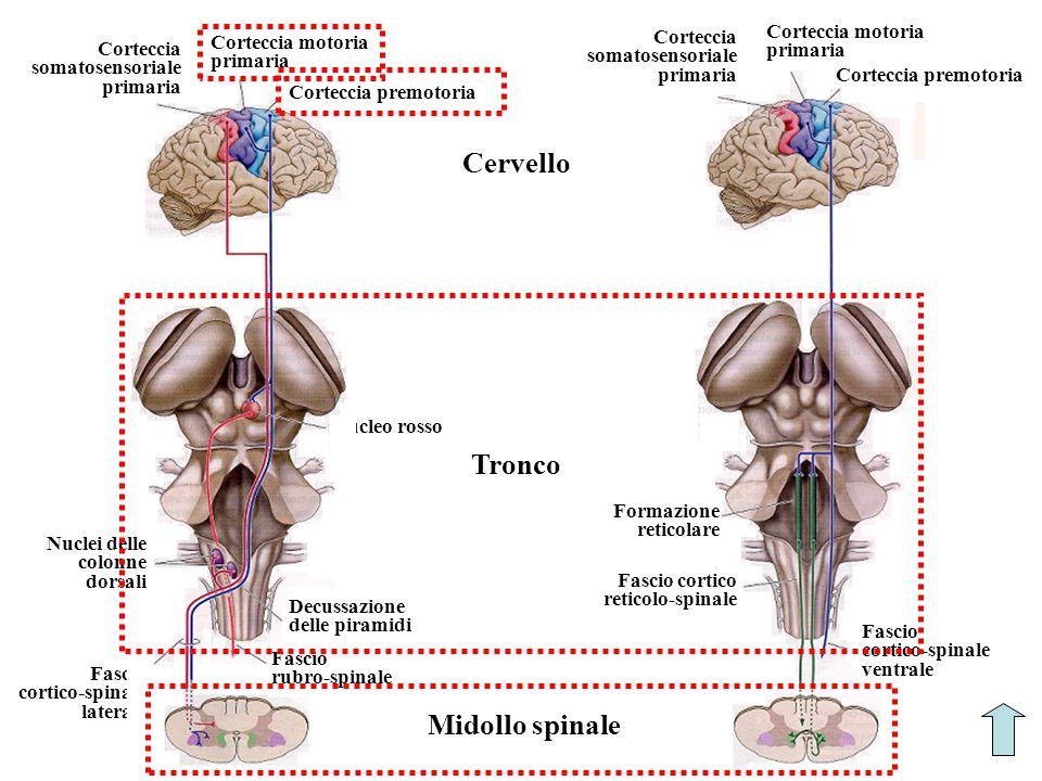 Cervello Tronco Midollo spinale Corteccia motoria primaria