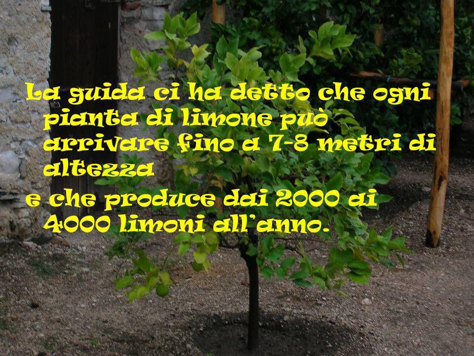 La guida ci ha detto che ogni pianta di limone può arrivare fino a 7-8 metri di altezza