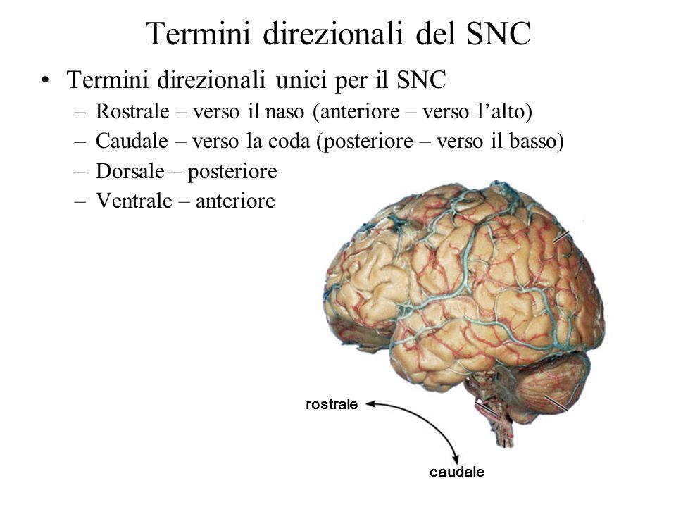Termini direzionali del SNC