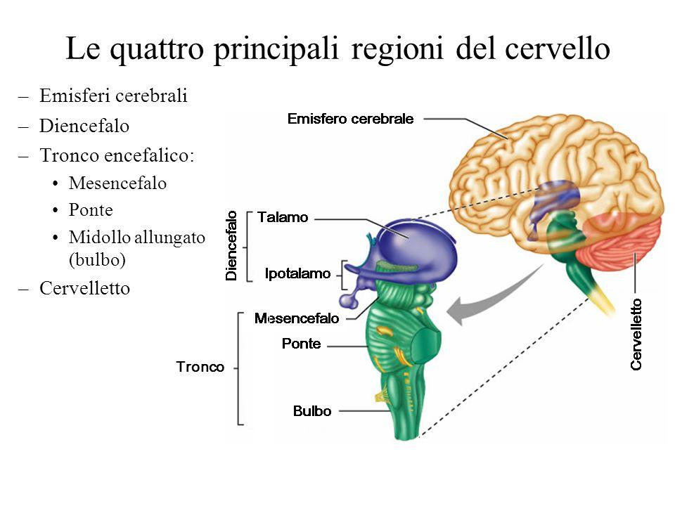 Le quattro principali regioni del cervello