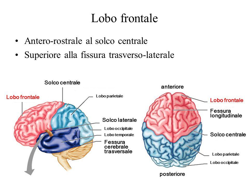 Lobo frontale Antero-rostrale al solco centrale