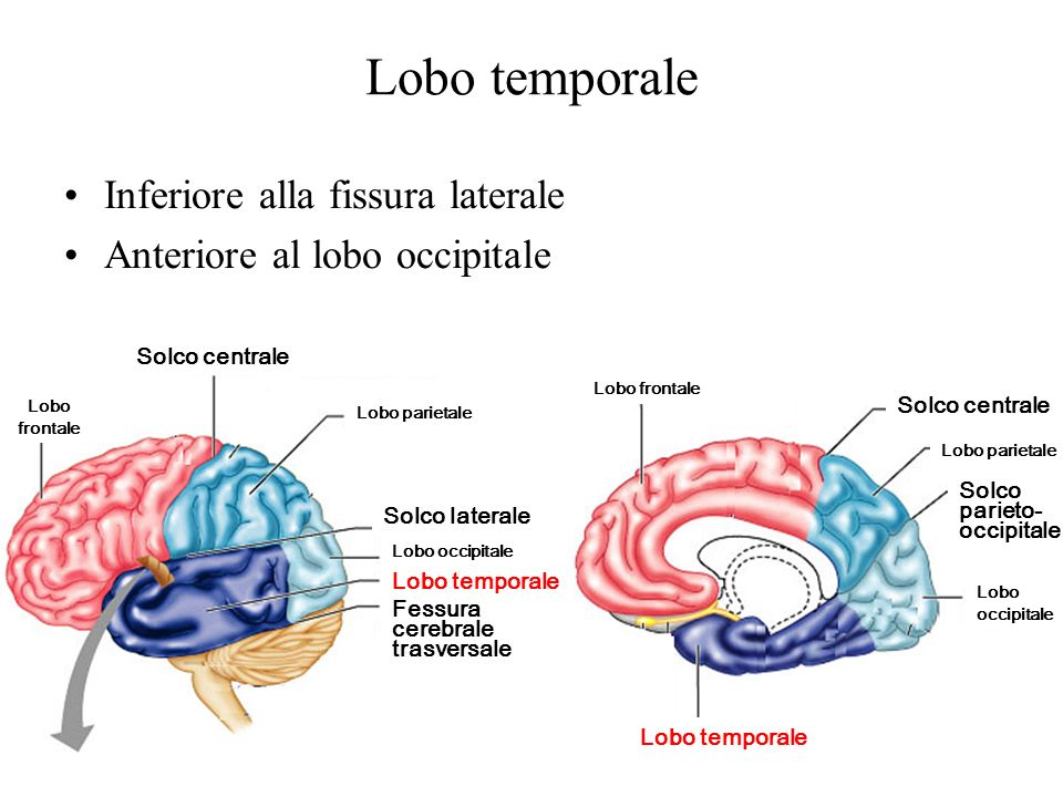 Lobo temporale Inferiore alla fissura laterale