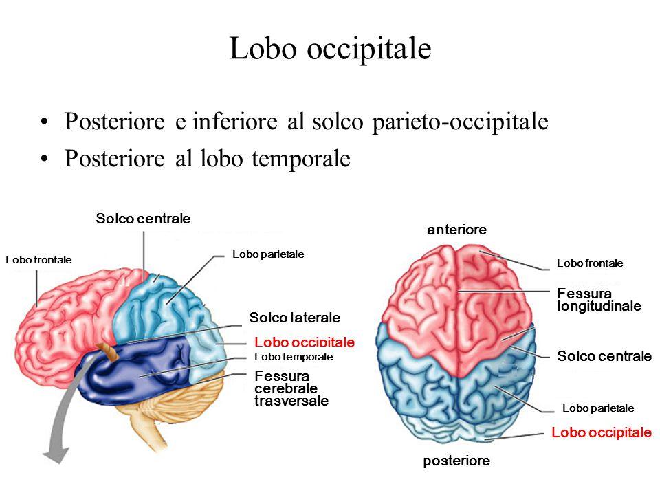 Lobo occipitale Posteriore e inferiore al solco parieto-occipitale