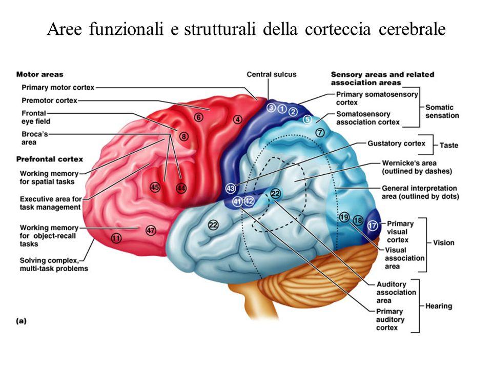 Aree funzionali e strutturali della corteccia cerebrale