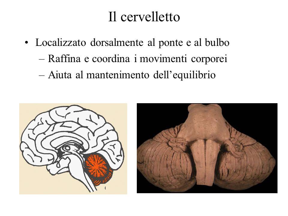 Il cervelletto Localizzato dorsalmente al ponte e al bulbo