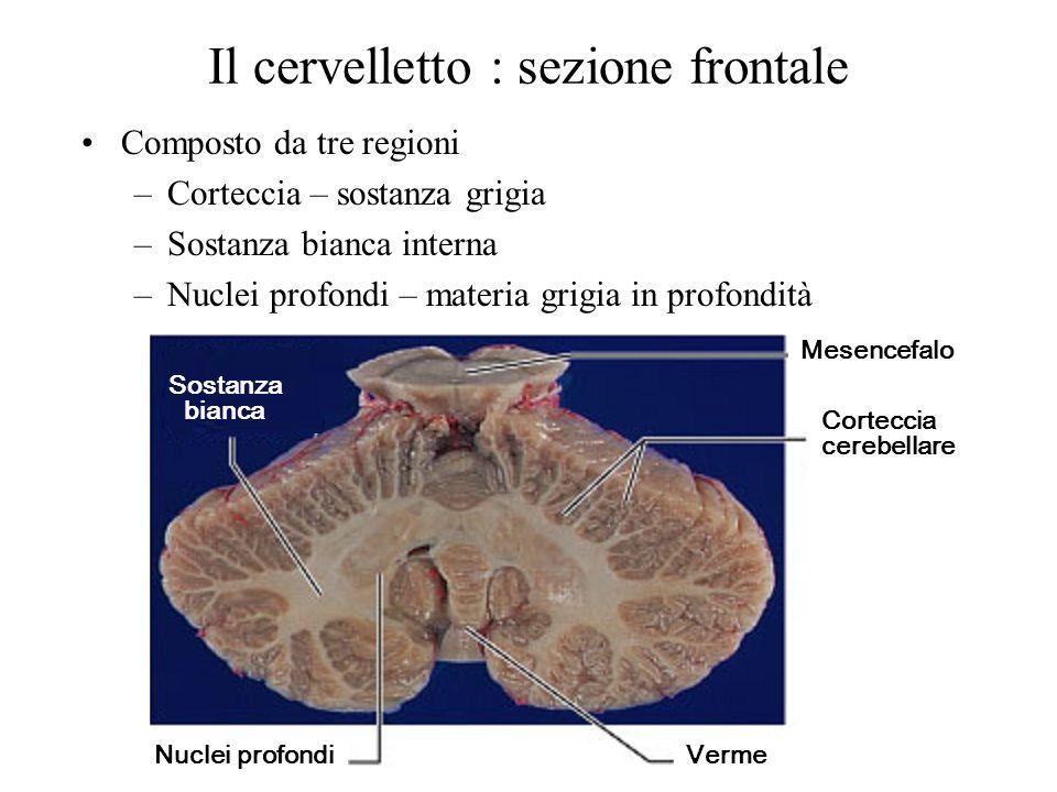 Il cervelletto : sezione frontale