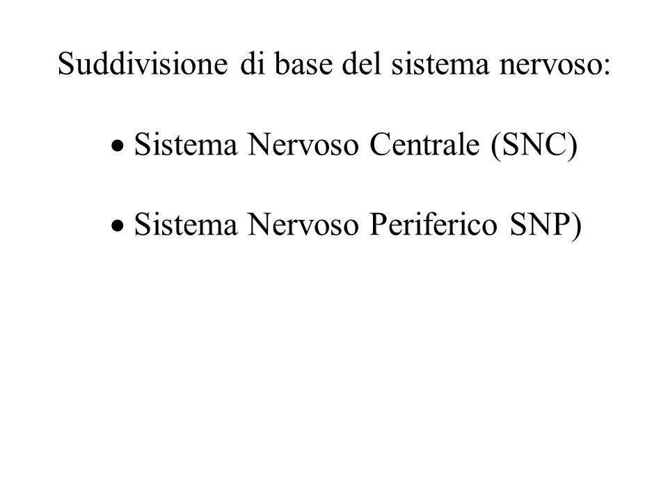 Suddivisione di base del sistema nervoso:  Sistema Nervoso Centrale (SNC)  Sistema Nervoso Periferico SNP)